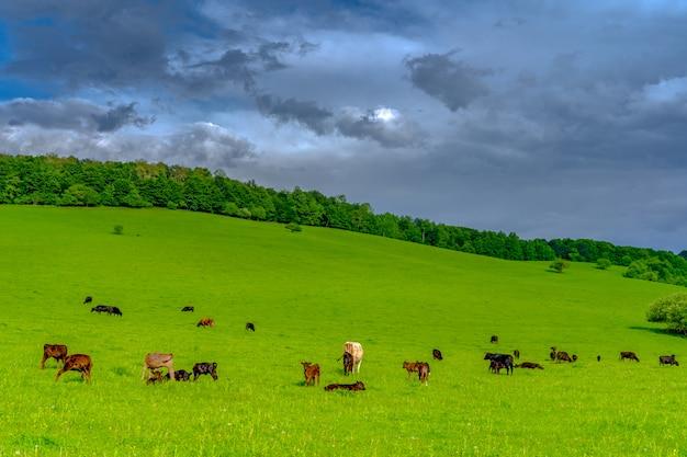 Łąki, na których pasą się krowy