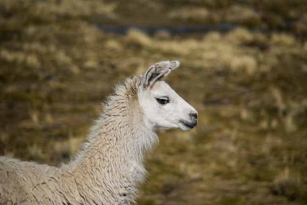 Lama górska w cordillera real, andes, boliwia