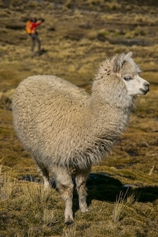 Lama górska w cordillera real andes, boliwia