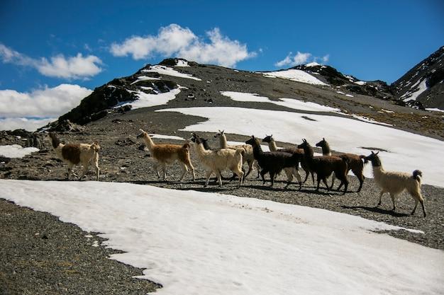 Lama górska w górskich polach