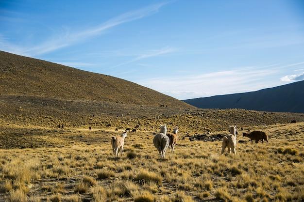 Lama górska z cordillera real, andes, boliwia