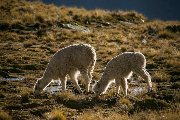 Lama górska z cordillera real andes, boliwia