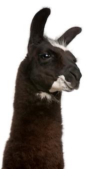 Lama, lama glama na białym odosobnionym