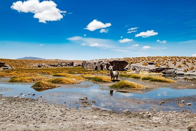 Lama na bagnach wśród słonecznej boliwijskiej pustyni górskiej
