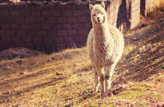 Lama na odludziu argentyny?