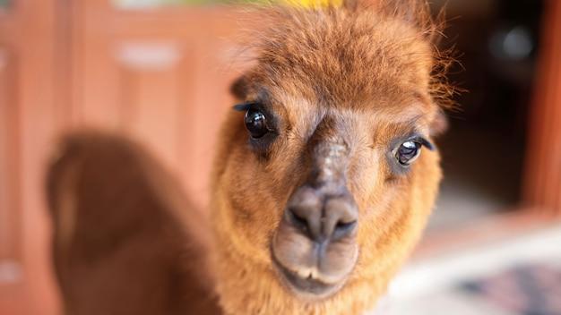 Lama z brązowo-pomarańczowym futrem patrzący w kamerę w zoo