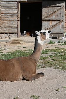 Lama zostaje na ziemi i ziewa