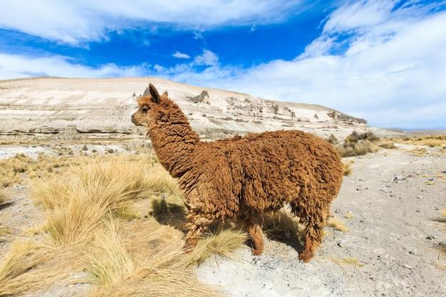 Lamowie w andach, w górach, peru