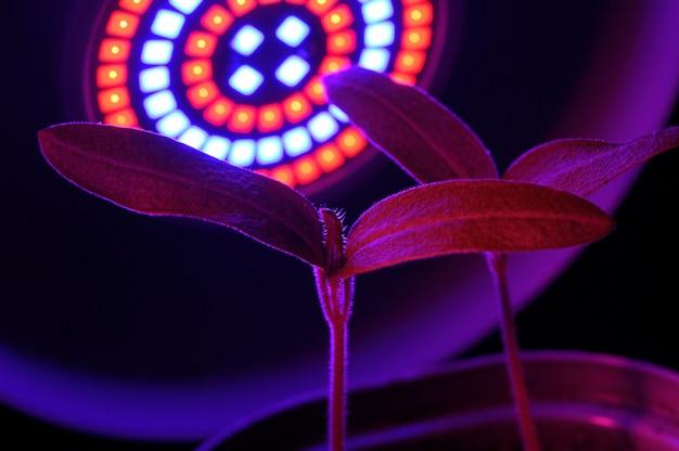 Lampa led do uprawy roślin dla rolnictwa, phytolampy. rośliny domowe pod lampą fito.