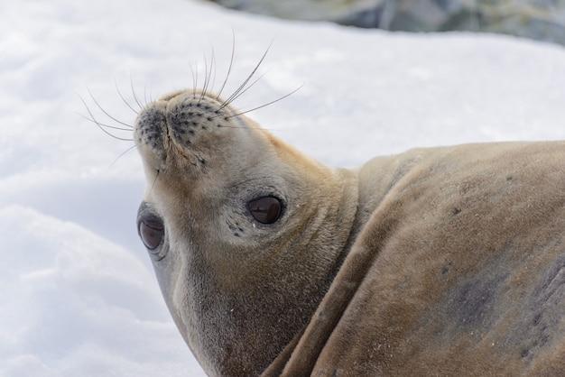 Lampart foki głowa z bliska