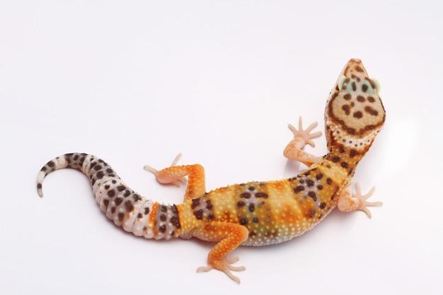 Lampart gekon na białym tle