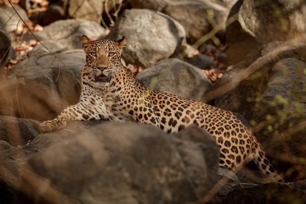 Lampart indyjski w naturalnym środowisku lampart odpoczywający na skale scena dzikiej przyrody z niebezpiecznym zwierzęciem