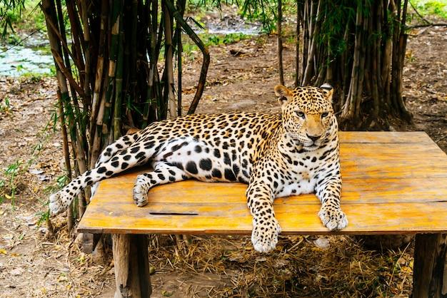 Lampart leżący na drewnie