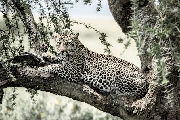 Lampart leżący na gałęzi drzewa w parku narodowym serengeti