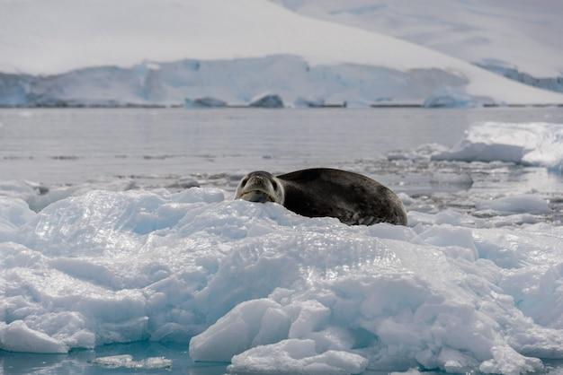 Lampart morski na lodzie