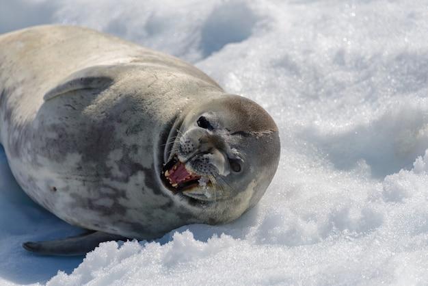 Lampart morski na plaży ze śniegiem na antarktydzie