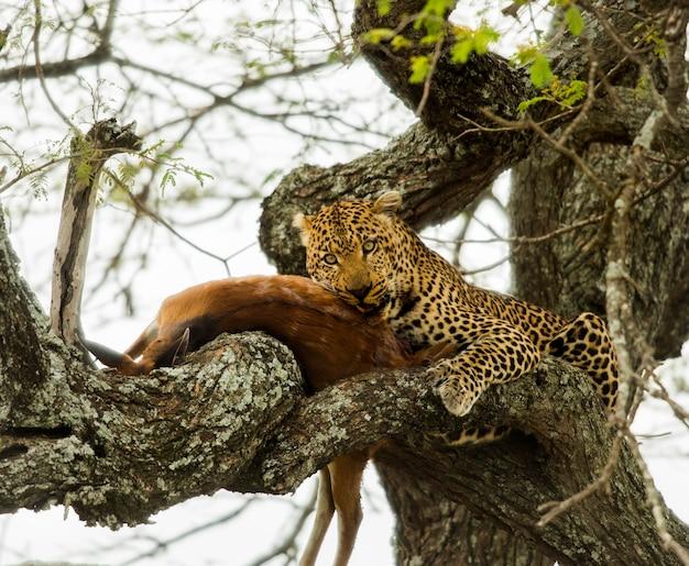 Lampart na drzewie ze swoją zdobyczą, serengeti, tanzania, afryka