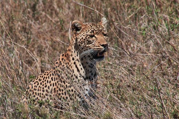 Lampart na safari w kenii i tanzanii w afryce