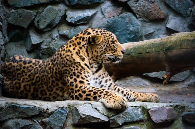 Lampart na skale. lampart dalekowschodni to mięsożerny ssak z rodziny felidae, jednego z podgatunków lamparta. obecnie lampart amurski jest na skraju wyginięcia.