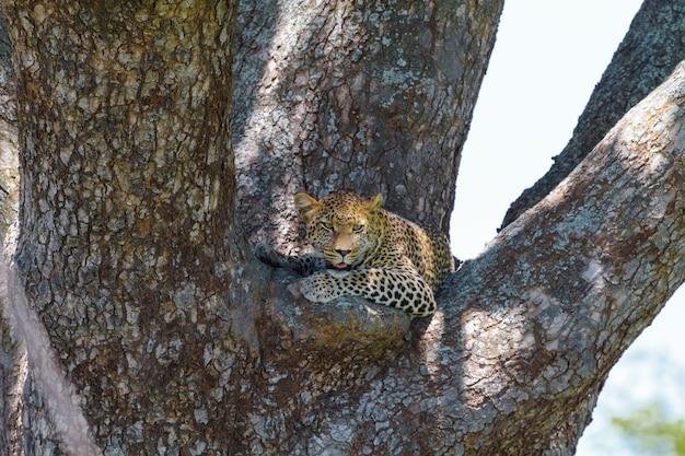 Lampart odpoczywa na gałęzi drzewa. serengeti, tanzania