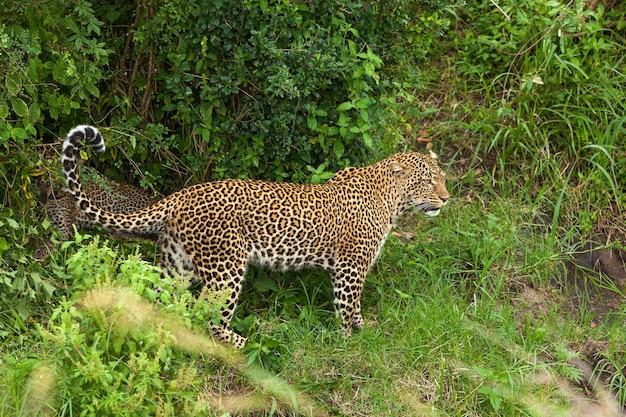 Lampart w parku narodowym masai mara, zwierzę, mara, lampart, rezerwat, kot, dziki, masai, afryka