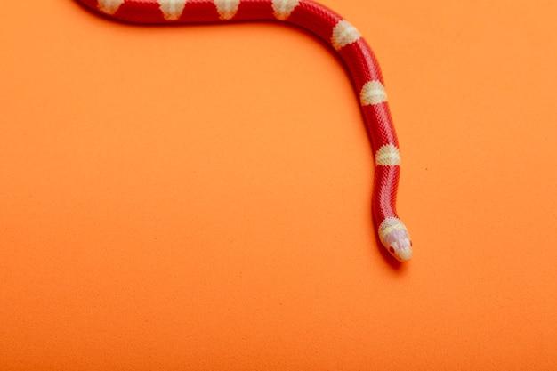 Lampropeltis triangulum, powszechnie znany jako wąż mleczny lub wąż mleczny, to gatunek królewskiego węża.