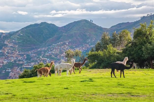 Lamy i alpaki w sacsayhuaman, ruiny inków w peruwiańskich andach, cusco, peru