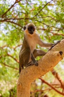 Langur brązowy i biały stojący na gałęzi drzewa w senegalu