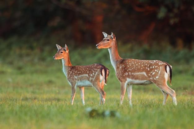 Łania i jelenie daniele, dama dama, w jesiennych barwach w ostatnich promieniach słońca.