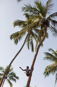 Lankijczyk na kokosowych zbierających drzewa kokosach z arkany zakończeniem up.