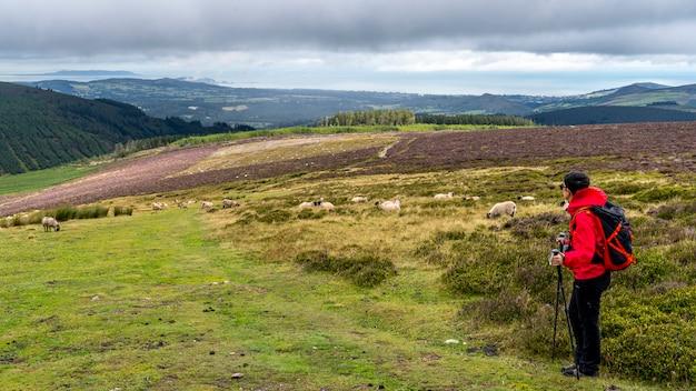 Lanscape z wicklow w pochmurny dzień z owcami i wycieczkowiczką.
