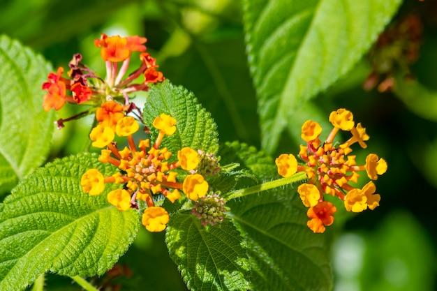 Lantana camara zwana również w naturze lantana