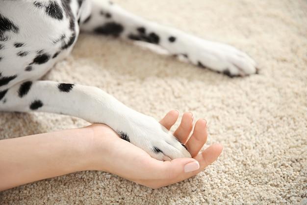 Łapa psa dalmatyńczyka w kobiecej dłoni