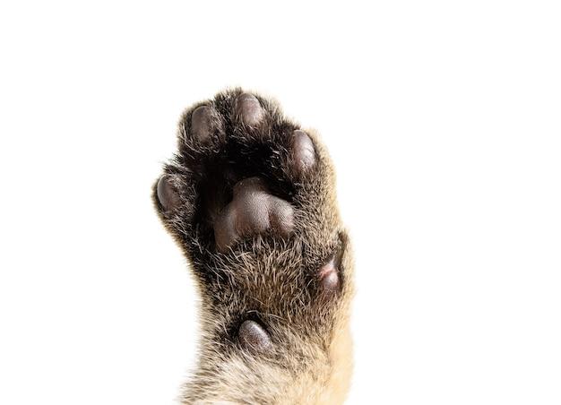 Łapa szarego kotka z brązowymi poduszkami na białym tle. kociak szynszyla brytyjska złoty tyknięty prosto
