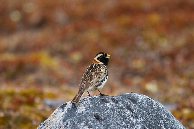Lapoński ptak ostróżkowy stojący na skale