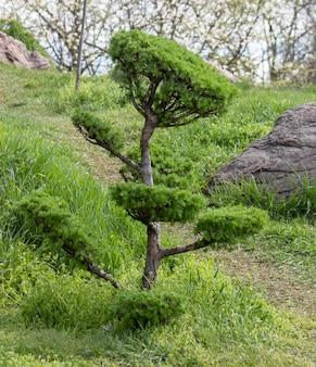 Larix, drzewo modrzewiowe, przycięte na wzór drzewka bonsai