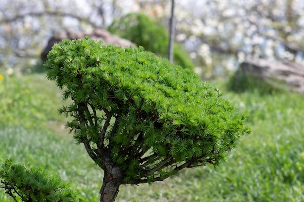 Larix, zbliżenie kremowej gałęzi modrzewia, przyciętej w stylu drzewka bonsai