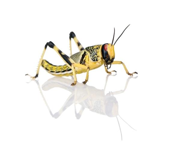 Larva z pustynnej szarańczy - schistocerca, grecja