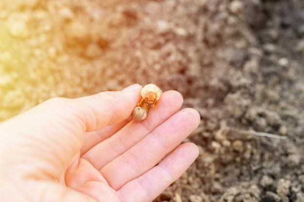 Larwa chrząszcza lub chrabąszcza w dłoni samicy na wiosnę w ogrodzie. migotać
