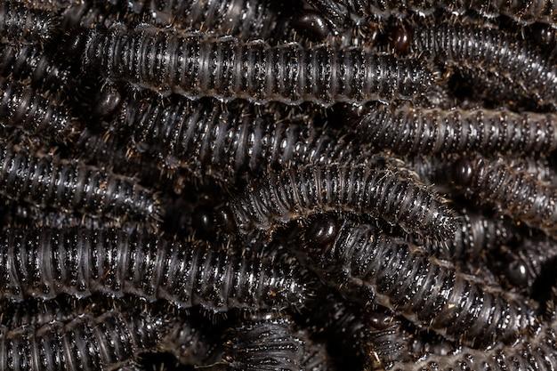 Larwy pergidowych motyli - perreyia lepida;