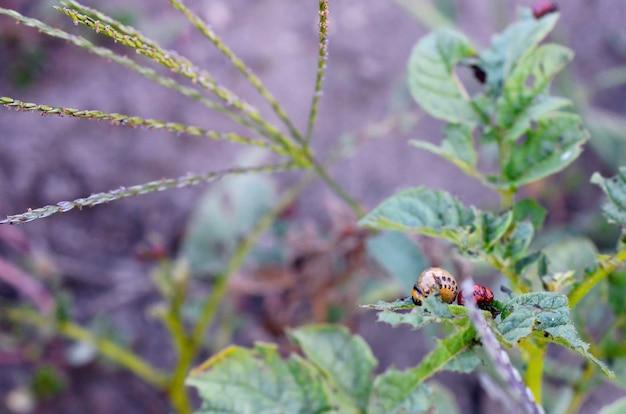 Larwy stonki ziemniaczanej jedzą liście młodych ziemniaków