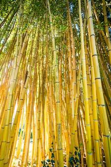 Las bambusowy.