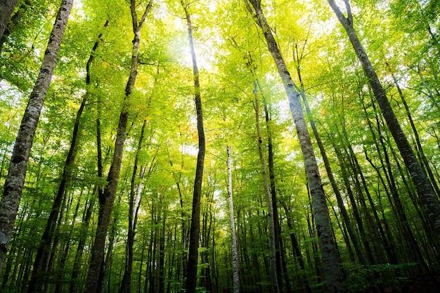 Las bukowy w promieniach słońca na wierzchołkach drzew