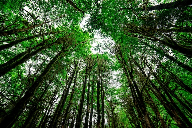 Las bukszpanowy. rize - turcja
