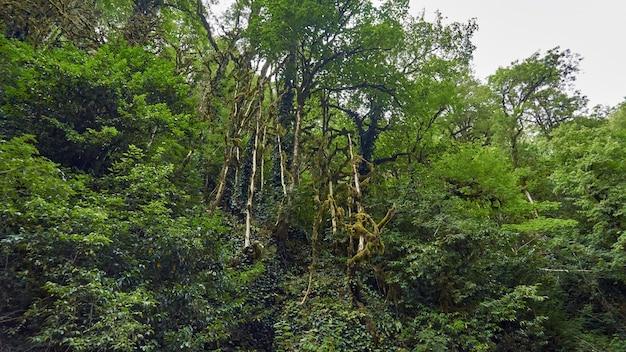 Las bukszpanowy w dystrykcie khosta, soczi, rosja