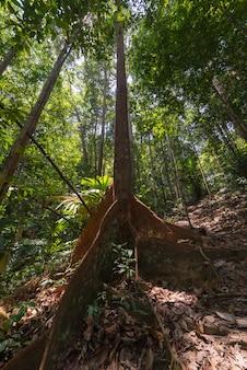 Las deszczowy borneo