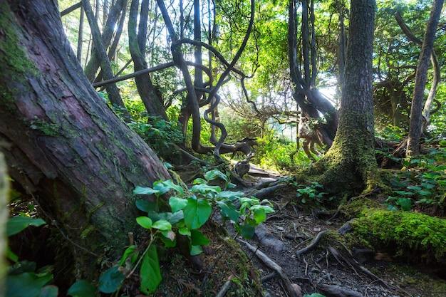 Las deszczowy na wyspie vancouver, kolumbia brytyjska, kanada