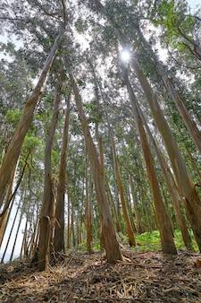 Las eukaliptusowy w galicji w hiszpanii