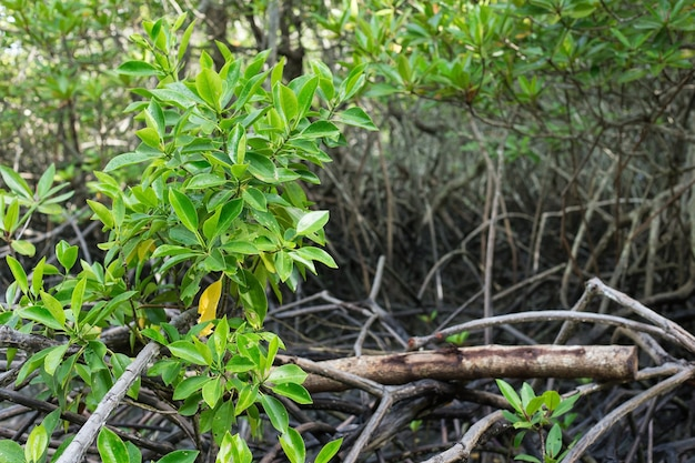 Las namorzynowy ma drzewo namorzynowe, które jest średniej wielkości drzewem i może rosnąć