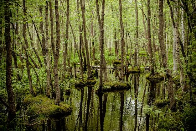 Las podmokły z zielonymi dywanami mchu. bagno. park narodowy. ochrona środowiska.